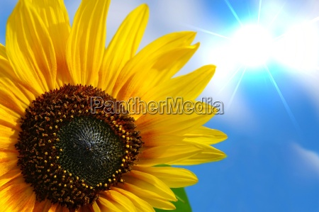 sunflower with sunbeams