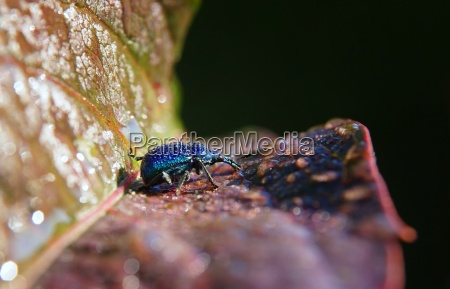 weevil with drops on the back