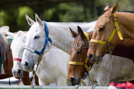 close up of horses tied to
