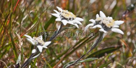 edelweiss trio