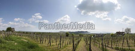 vineyards on lake balaton