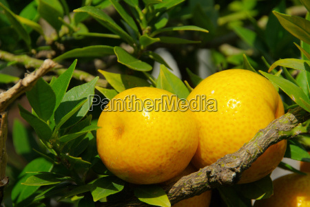 orange tree fruit fruit tree