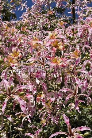 chorisia speciosa