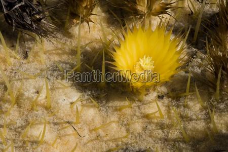 echinoactusbluehte