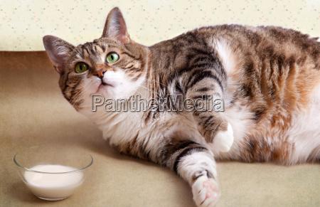 fat cat with milk