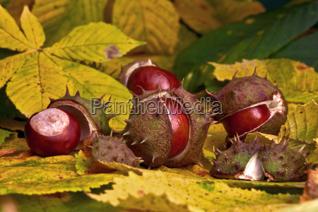 chestnuts in autumn xv