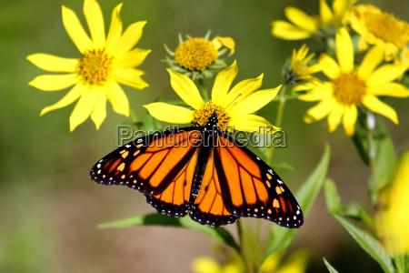 monarch butterfly danaus plexippus on woodland