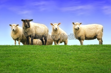 sheep, on, the, dike, of, the - 3783771