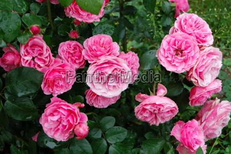 pink shrub rose leonardo da vinci