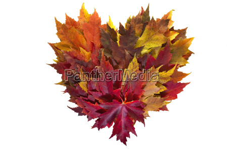 maple leaves mixed fall colors heart