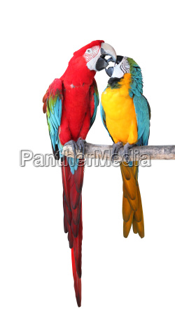 exempted parrot