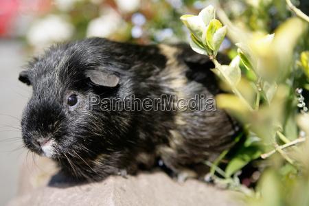 curious guinea pigs