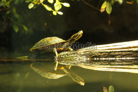sawback turtle in closeup