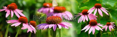 echinacea panorama01