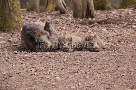 wild boar in close up