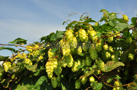 drink beer shrub hop brewing