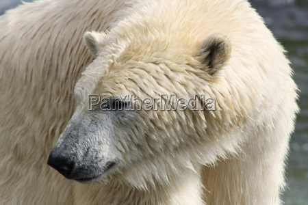 polar bear very close