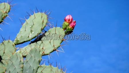 the cactus blossom