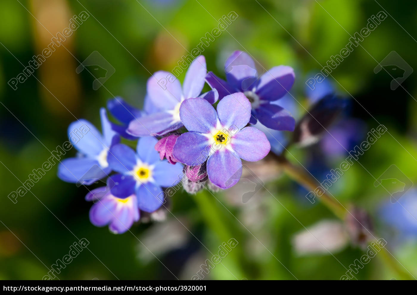 forget, me, not - 3920001