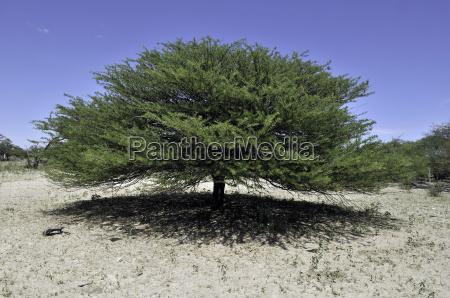 camel thorn acacia