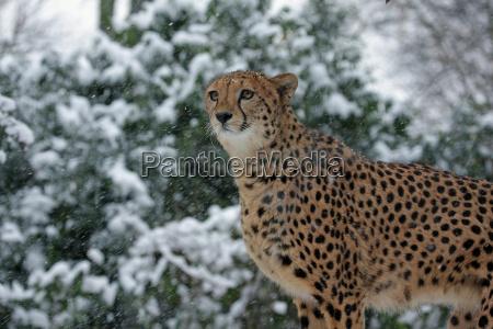 snow cheetah