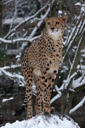 cheetah in winter