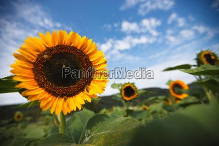 sunflower with insect