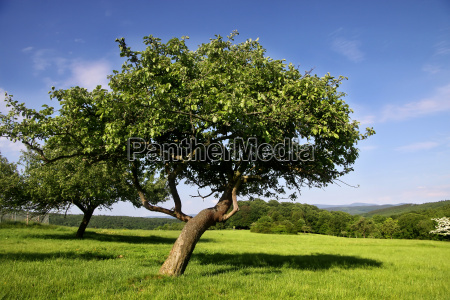 orchard in summer