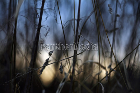 withered grasses against the evening sky