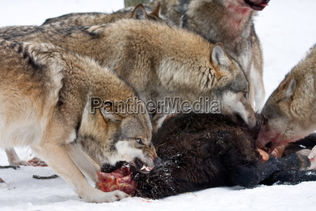 wolf meal