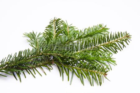 small fir branch