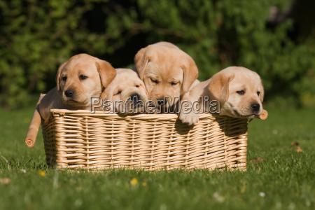 labrador puppies in basket