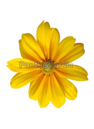 isolated sunflower on white background