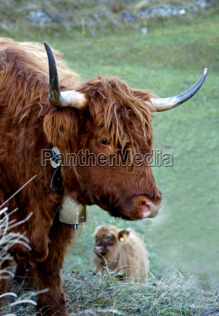 galloway cattle a