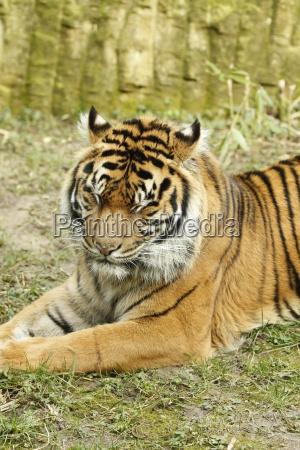 bengal tiger in close