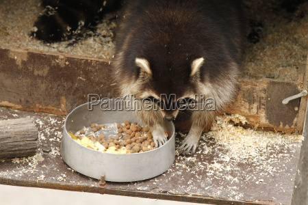 raccoon in close