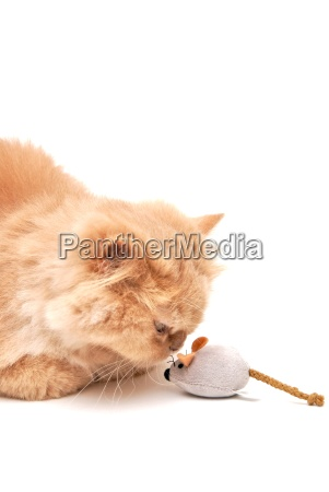 isoated persian cat smell mouse