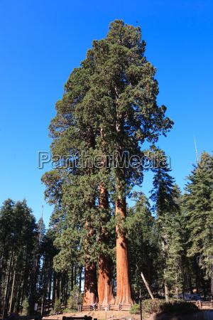 sequoia redwoods np usa