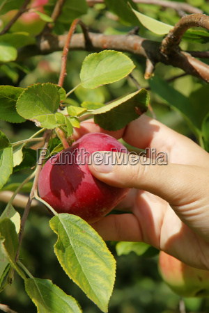vertical hand picking apple close up