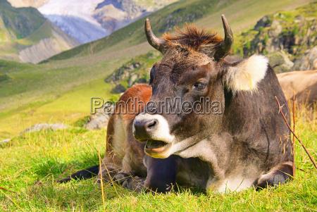 almkuh alp cow 23