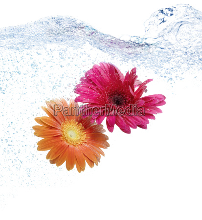 daisies in the water