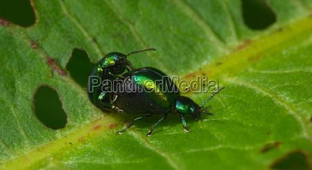 beetles mating