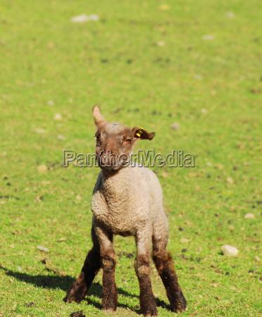 lamb lying on the grass