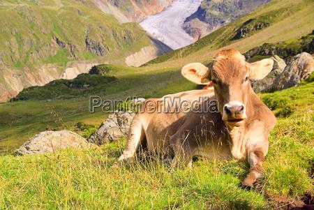 almkuh alp cow 22