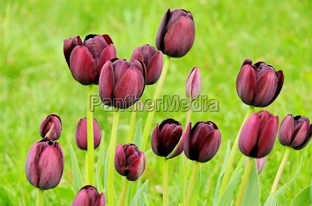 tulip purple tulip purple 02