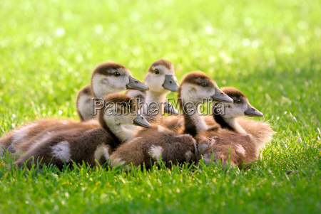 snuggled seven goslings