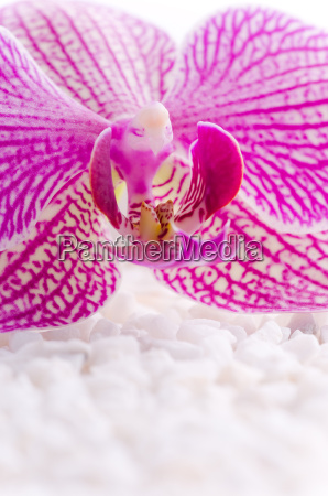 pink orchid on white stones