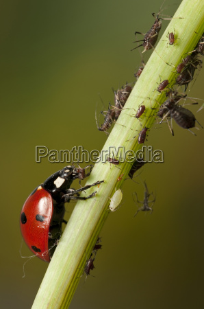 ladybug hunting for aphids