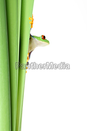 frog on plant isolated on white
