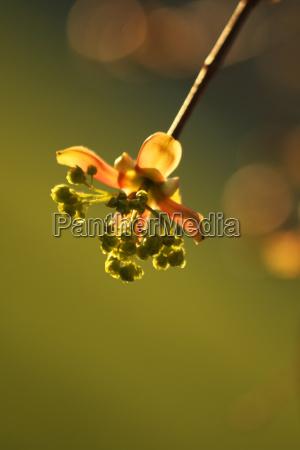 maple flower in evening light
